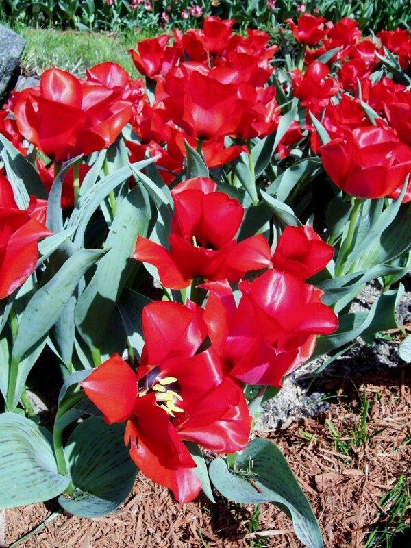 Тюльпаны на выставке цветов