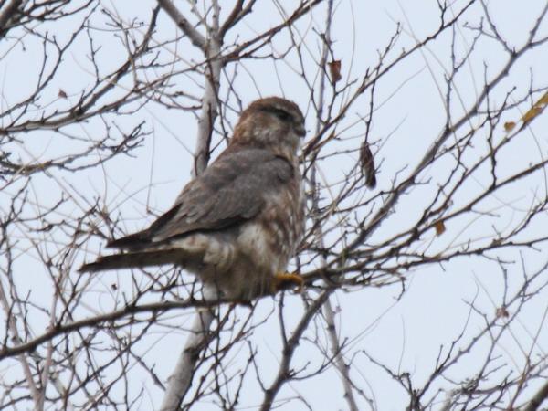 Дербник (Falco columbarius)