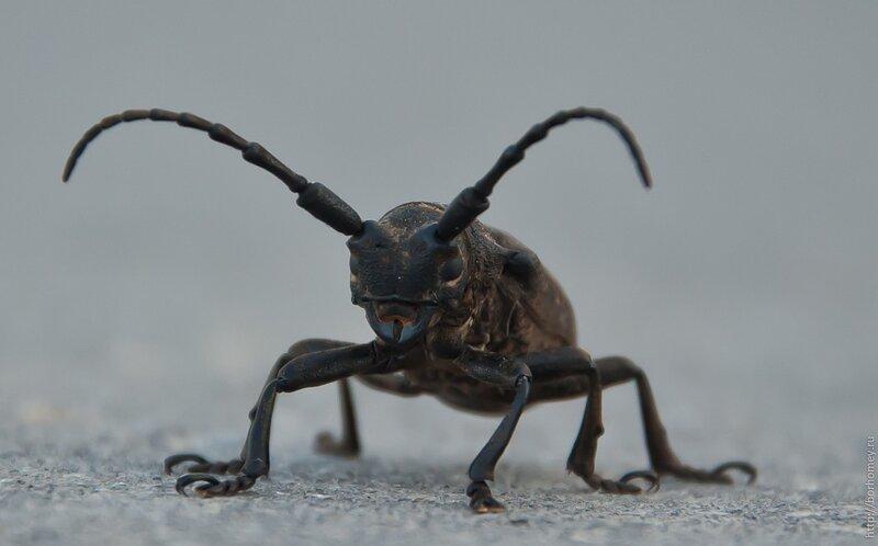 черный жук на протяжке