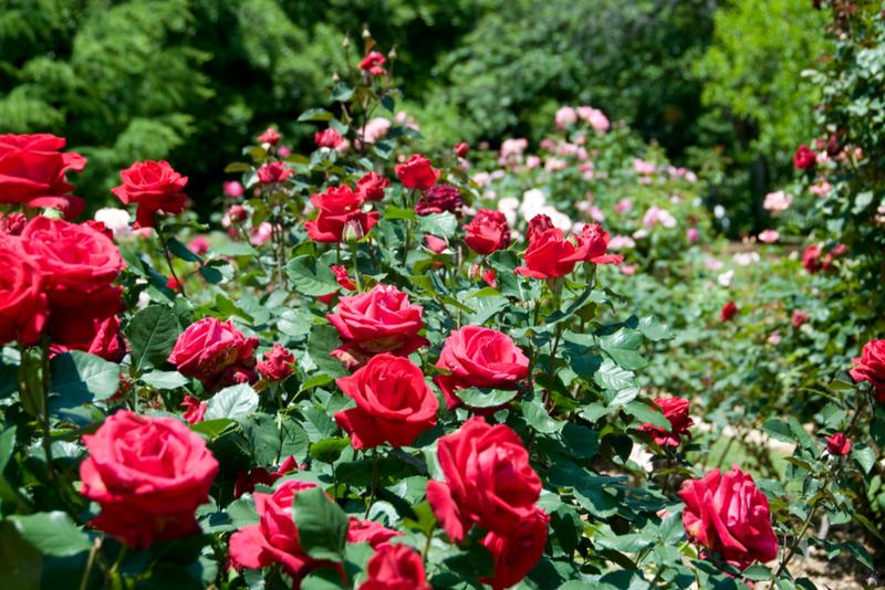 Цветы розы в саду фото