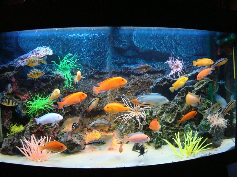 ...www.malawi.cichlids.ru/ вы сможете посмотреть на всех малавийских
