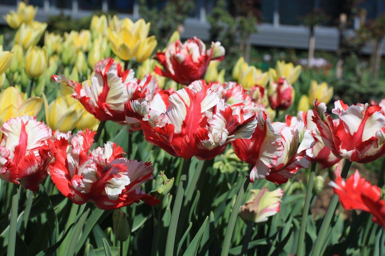 Тюльпан эстелла рижнвельд