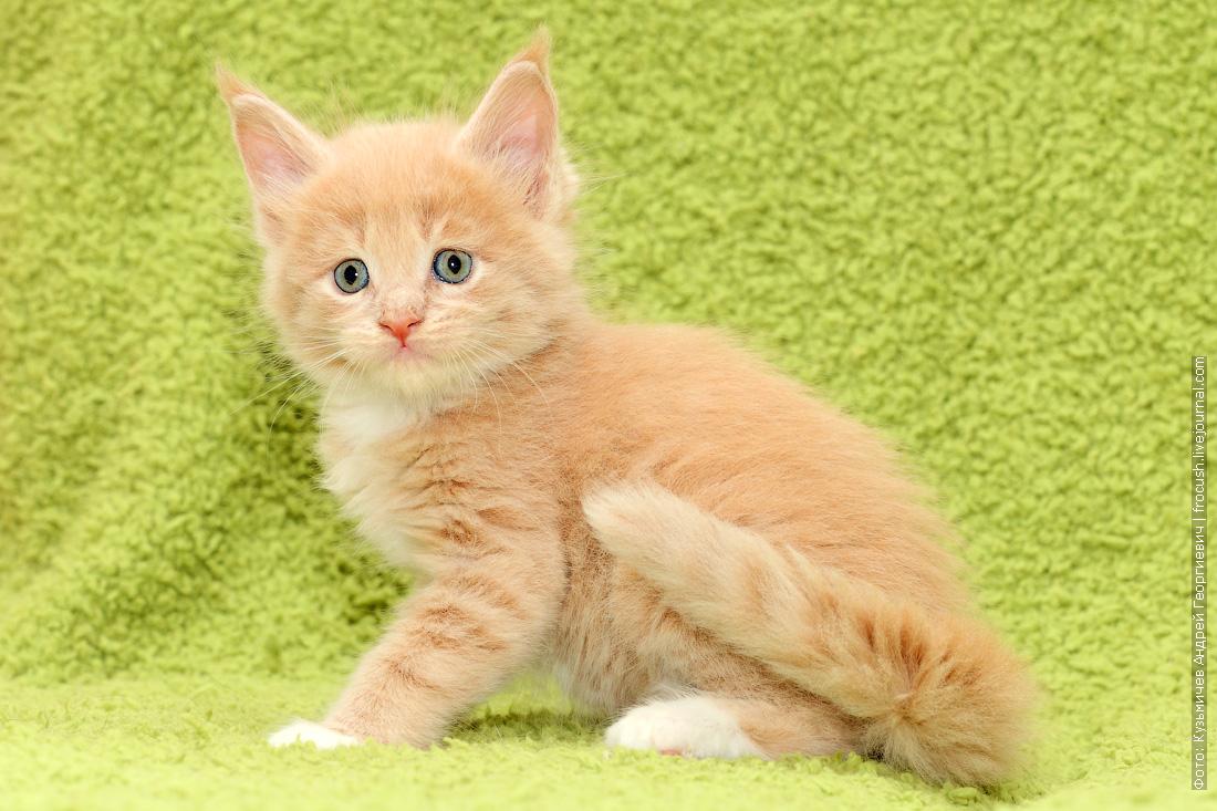 котята Мейн-кун купить