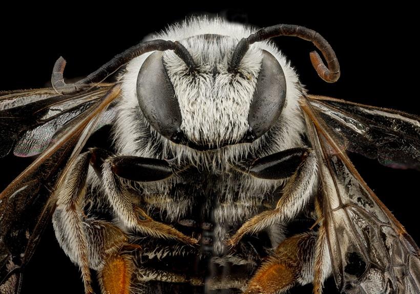 Макрофотографии разноцветных американских пчел 0 13d29e 534eac19 orig
