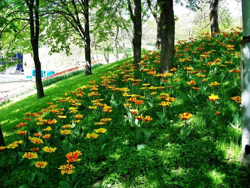 Тюльпаны между деревьями Печерского парка