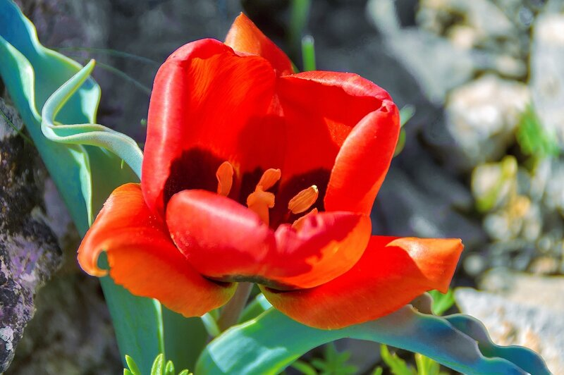 Тюльпан Альберта