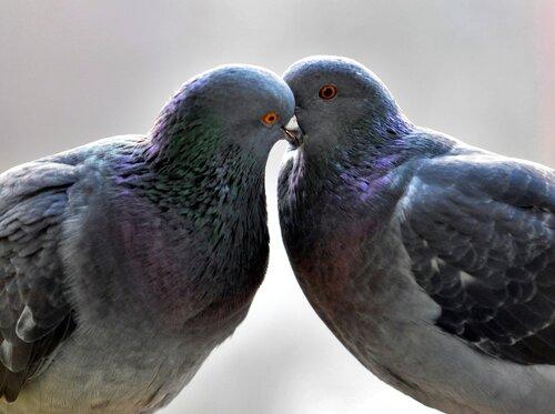 Нежность голубинная