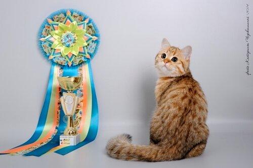Best Kitten - 160 Julianus Ben Nevis (Male) BRI ny 24 Пестерева Р. Ф. Камея, Иркутск