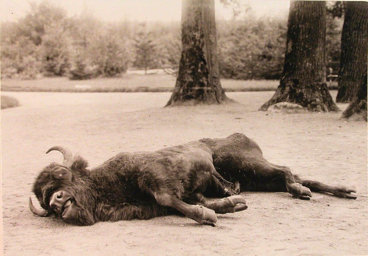 19. Зубр, убитый во время царской охоты