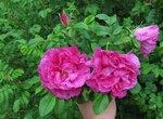 Парковые розы - это обычно густооблиственные кустарники высотой до 1,5 м...