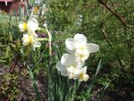 Нарцисс многоцветковый Cheerfullness