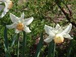 Нарцисс крупнокорончатый Salome