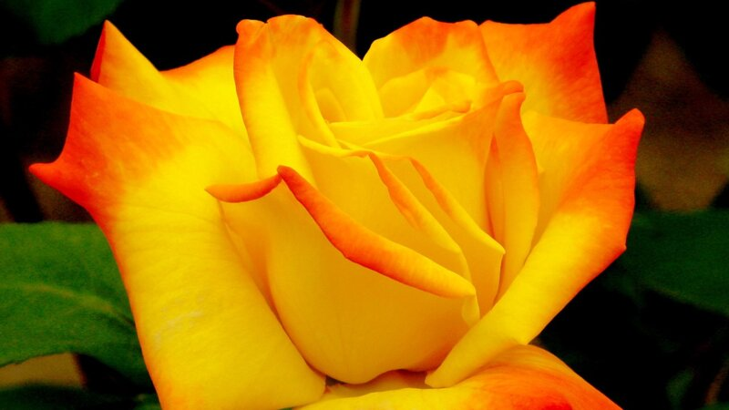 чего организму картинка самой красивой желтой розы волос Краснодаре адресами