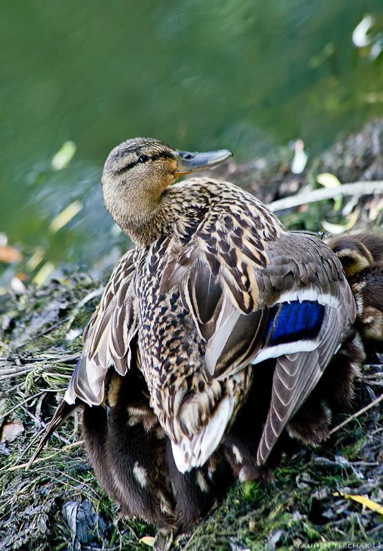утята, ducklings, фото