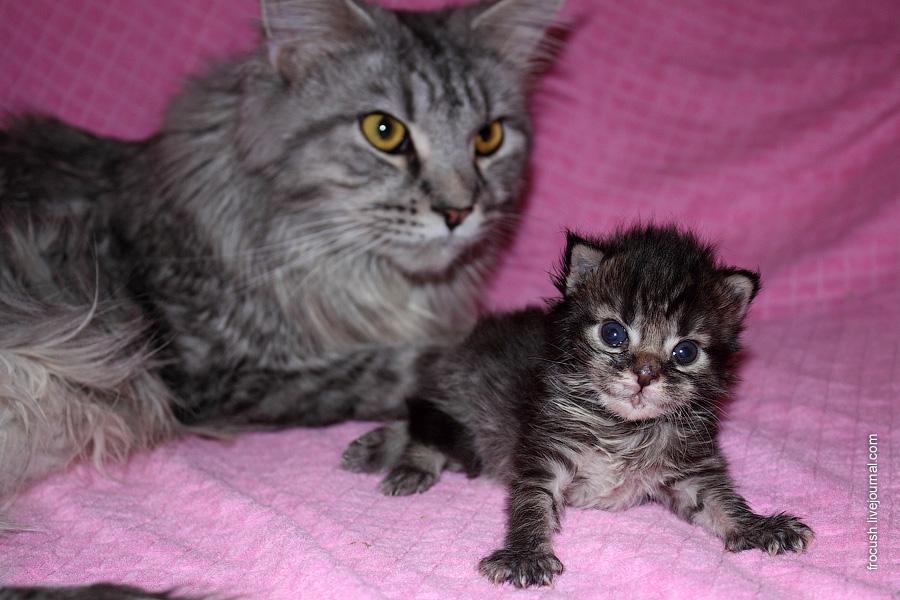 мейн-кун Флора со своим котенком Одри