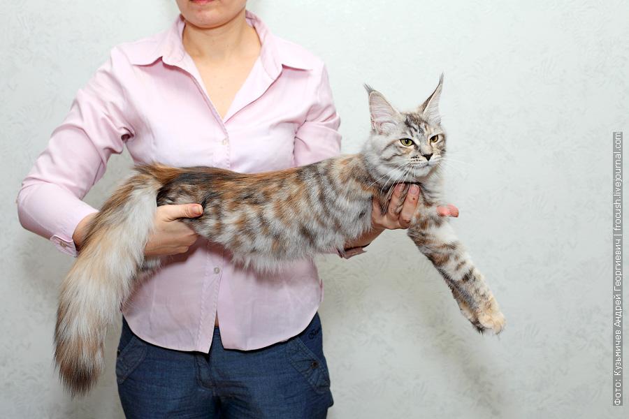 кошка серебро Мейн-кун в Москве