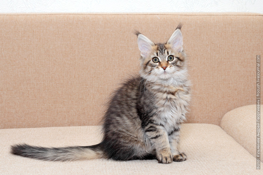 питомник Мейн-кун котенок
