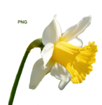 flower(нарцисс)