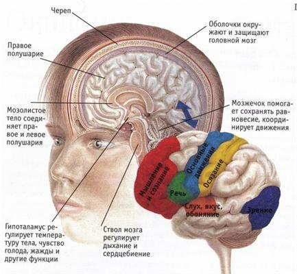мозг, строение мозга