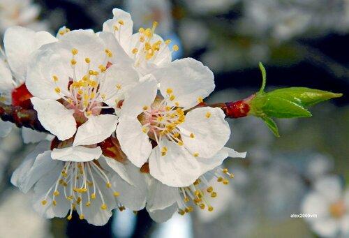 За ночь превратились абрикосы в белые цветущие мечты!