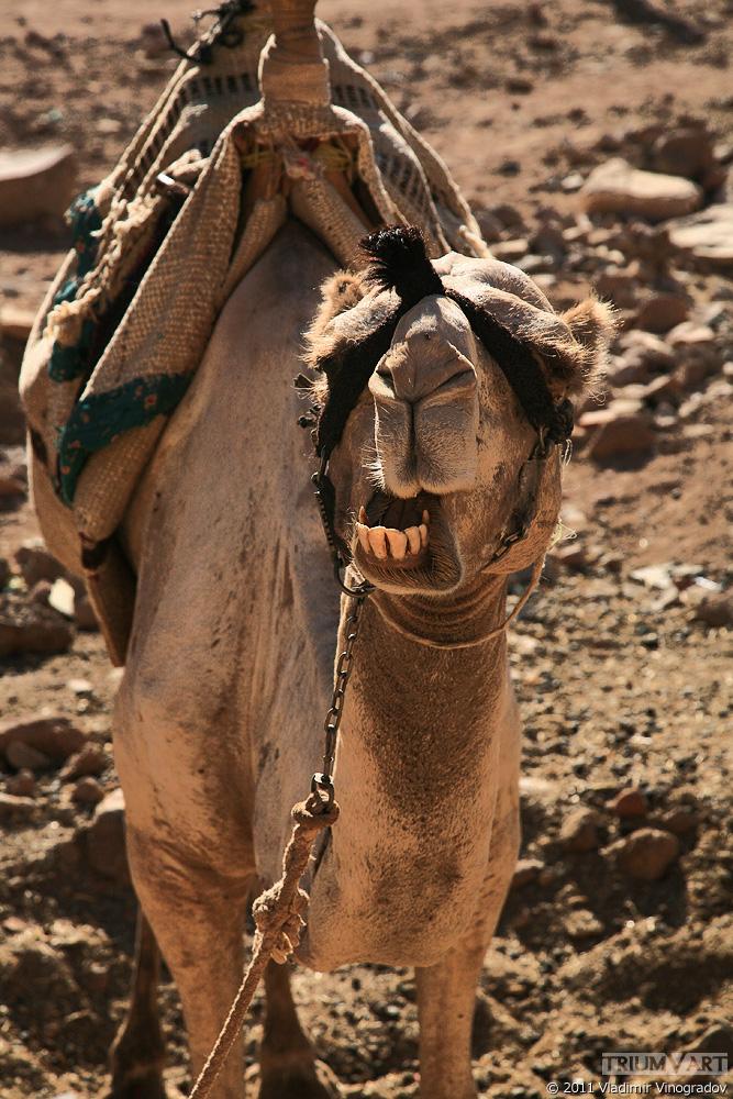 песчаный конь