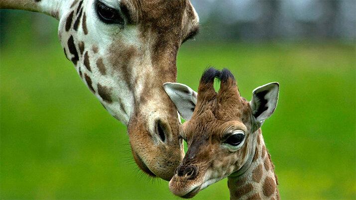 Жирафы - животные из дикой природы, интересные кадры
