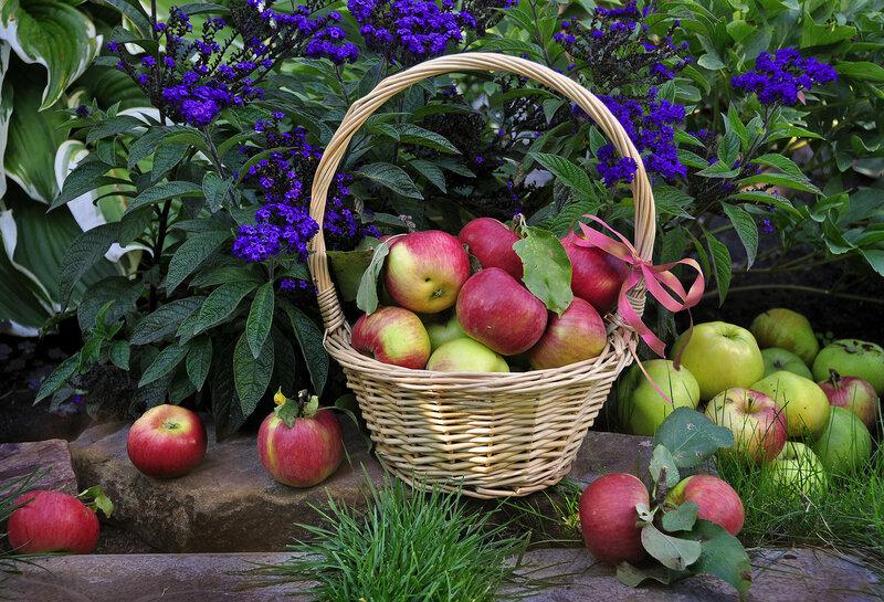 Поспели яблоки в саду