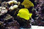 Жёлтая рыбка