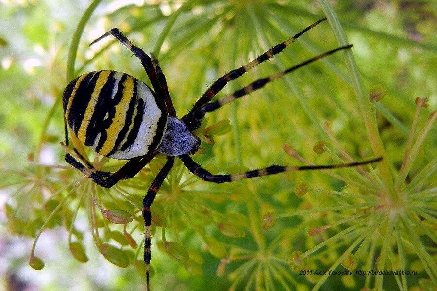паук черный с желтыми полосками фото и описание забываем про стильную