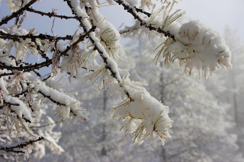 снег на веточках лиственницы