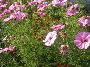 Скоро осень, а космея цветёт!