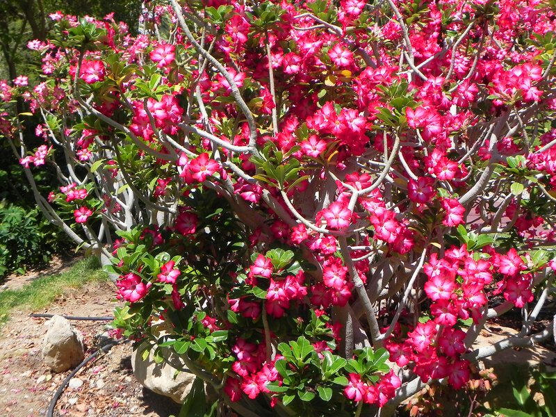 """Ботанический сад кибуца """"Эйн Геди"""".Роза пустыни"""
