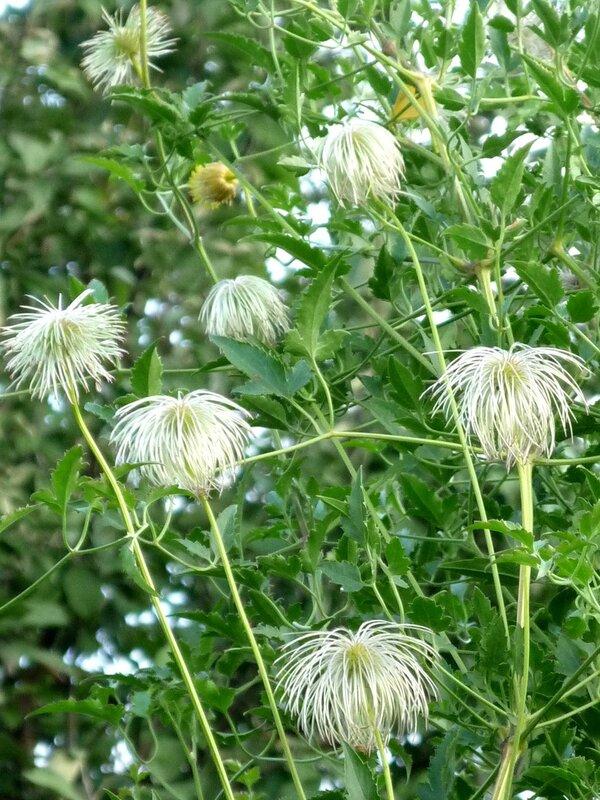 Семена клематиса Тангутского.