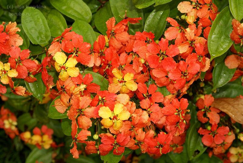 Баугиния красная (Bauhinia kockiana), сем. Бобовые