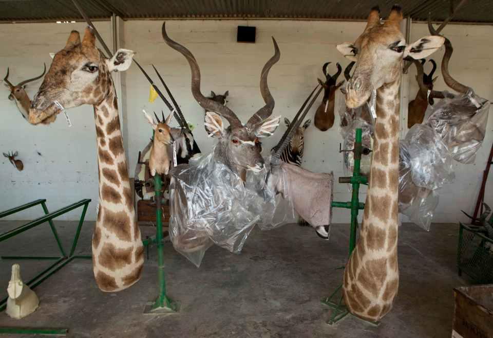 Таксидермия фабрика в Намибии