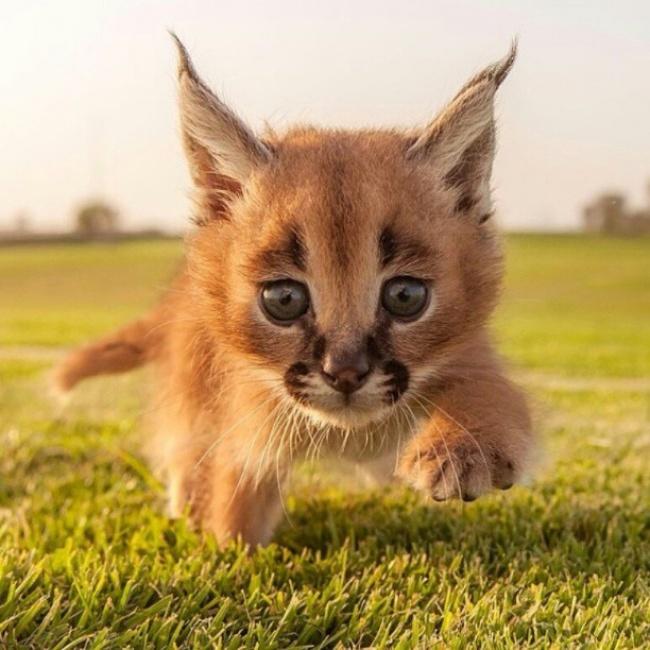 Осторожно: эти котята-каракалы покоряют сердце одним только взглядом (4 фото)