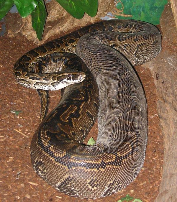 Его объятия смертельны, хотя в отличие от других змей удавы не ядовиты. Они убивают своими муск