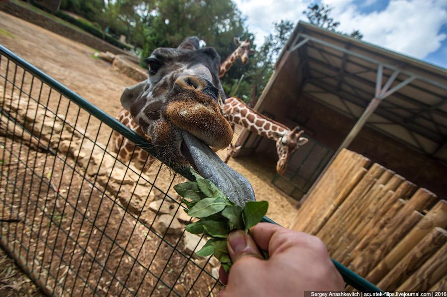 3. А еще жирафы — единственные животные, которые не умеют зевать. Долгое время считалось, что о
