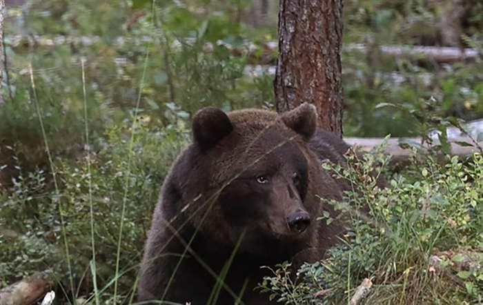 Сегодня в радиусе десятков километров от АЭС не так легко встретить человека, зато диких животных, к
