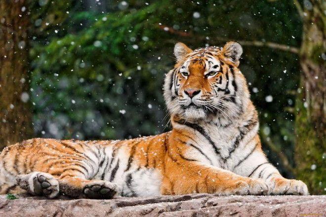 Амурский тигр Этот подвид считается вымирающим и занесён в Красную книгу. Это животное одновременно