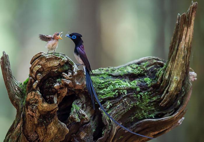 25 трогательных фотографий птиц, заботящихся о своих птенцах (25 фото)