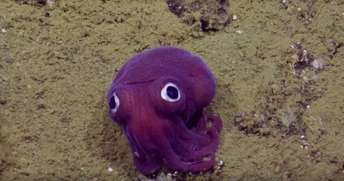 Эта глазастая каракатица словно мягкая игрушка, упавшая в воду