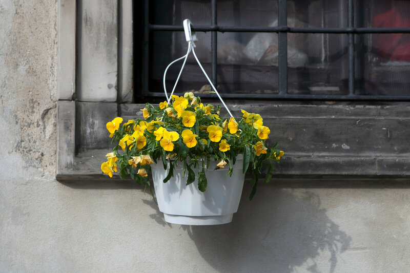 the yellow Violets, in white pots, suspended to the bars on the windows in the restaurant