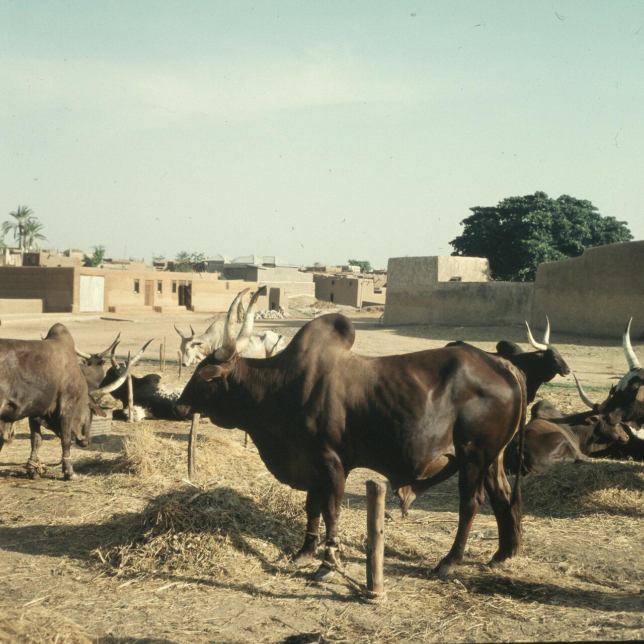 Кано. Рынок зебу