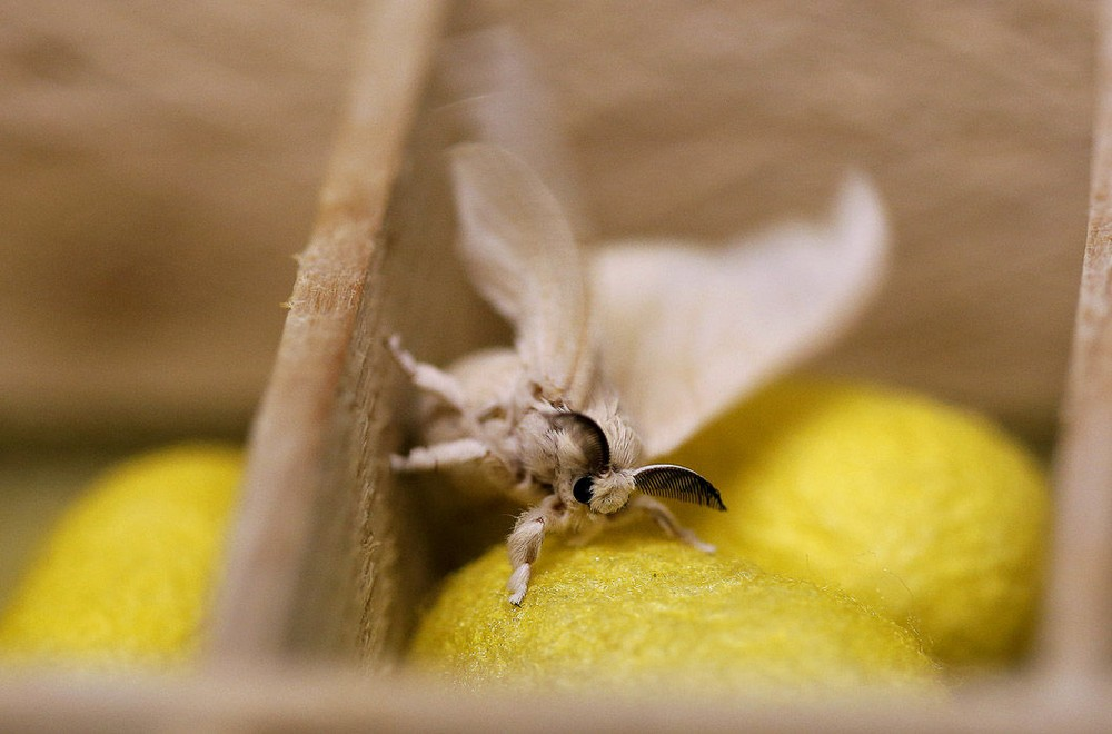 A silkmoth sits in a box of silkworm cocoons like the one from which it has recently emerged,  at the CRA agricultural research unit in Padua