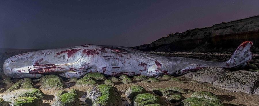 20. Кашалот бился о камни на мелководье в Ханстантоне до тех пор, пока не умер. Об этом свидетельств