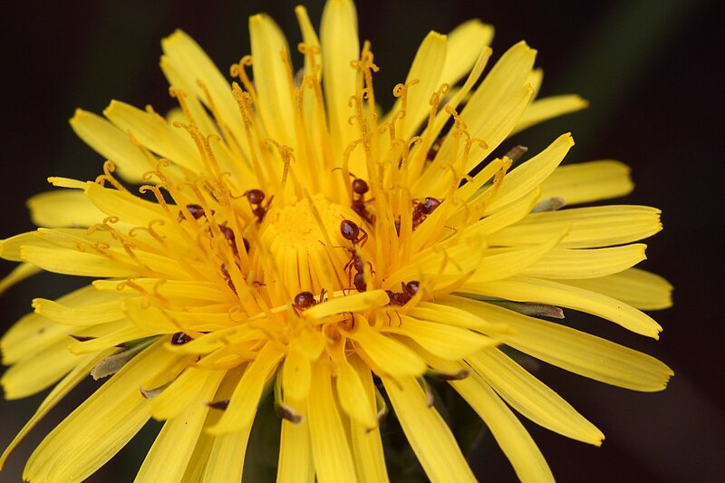 Красные муравьи на жёлтых цветках одуванчика собирают нектар