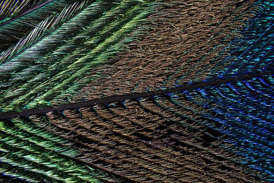 Macro Pictures of Peacock Feathers