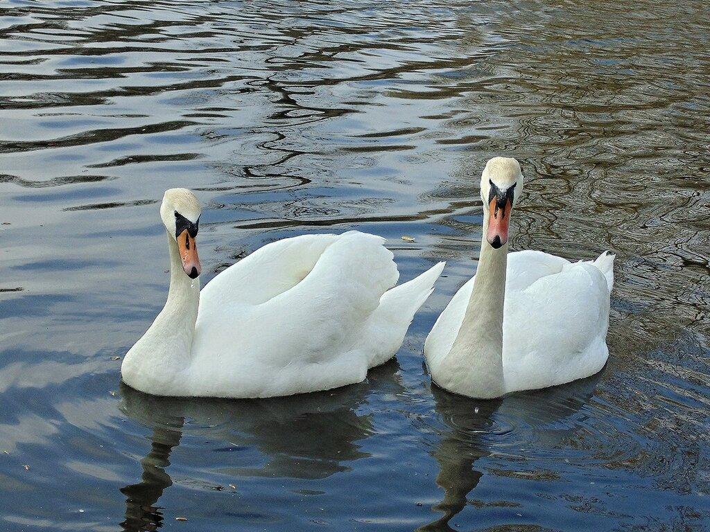 На озеро вернулись лебеди...