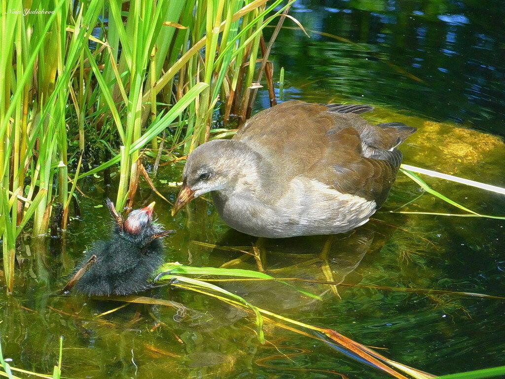 Молодая камышница  с птенчиком